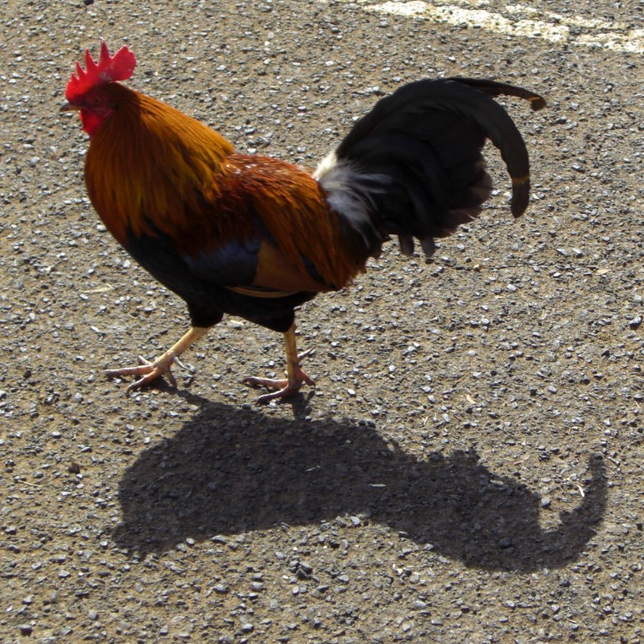 rooster walking on pavement